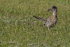 Greater Roadrunner (Stephen J Pollard (Loud Music Lover of Nature)) Tags: geococcyxcalifornianus correcaminosmayor correcaminos greaterroadrunner roadrunner cuckoo cuco bird ave