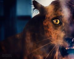 Leopardo (hansel4you) Tags: canon 6dm2 6dmark2 6dmarkii 6dmkii ef 24105f4l leopard animals wild hanselfernandesphotography