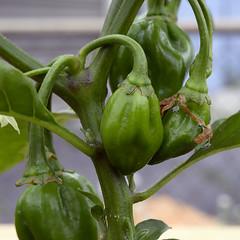 chili pepper (Crop) (Theron Trowbridge) Tags: eaglerock california ca plant chili