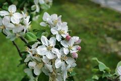 Apple Blossoms (kendoman26) Tags: hmm happymacromonday appleblossoms sonyalpha sonya6000 selp1650