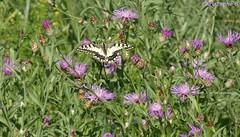 Un machaon dans un champ de centaurées (Entraigues sur la sorgue - Vaucluse - 4 septembre 2018) (Carnets d'un observateur de la nature du Sud de la) Tags: fleur centaurée nature biodiversité insecte papillon machaon entraiguessurlasorgue vaucluse provence