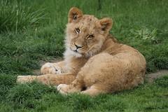 Lionceau d'Afrique (Passion Animaux & Photos) Tags: lionceau afrique african lion cub zoo beauval france