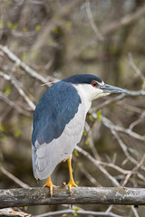 80199 - Bihoreau Gris - Black-Crowned Night-Heron (xVanHovenx) Tags: bihoreau nightheron bihoreaugris blackcrownednightheron arbre bois tree forest wood nature animal oiseau bird sonya7iii sigmamc11 sigma150600mmcontemporary forêt