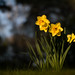 Daffodils on creamy bokeh background