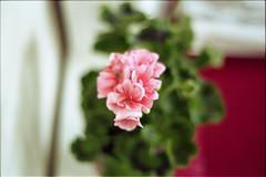 (nicolasmathieudosiere) Tags: slr 35mm oldcamera minoltax700 kodakgold expiredfilm analog ishootfilm filmisnotdead flowers 50mm17