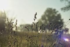 Good Morning (timvandenhoek1) Tags: sunrise sunshine fescue grass silhouette sonyilce6000 helios44 timvandenhoek midwest missouri lensflare