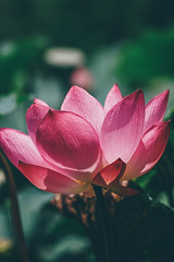 夏荷 (aelx911) Tags: a7rii a7r2 sony fe70200 70200 landscape lotus flower nature bokeh taiwan taipei 台灣 台北 台北植物園 荷花 荷花池