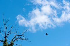 Un_pensiero_libero (Danilo Mazzanti) Tags: danilomazzanti danilo mazzanti wwwdanilomazzantiit fotografia foto fotografo photos photography libertà albero uccelli cielo