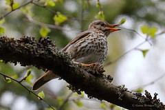 Laulurastas - Song Trush - Turdus philomelos 848 (Hannu Tervonen) Tags: 2019 linnut birds laulurastas songtrush