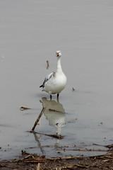 Snow Goose (pegase1972) Tags: snowgoose goose geese oie oies bird oiseau nature water reflection licensed dreamstime eyeem adobe adobestock fotolia shutter shutterstock