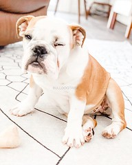 Penny has nailed the Monday stink eye 😬 (Michele Nicolette) Tags: ifttt instagram bulldog english bully dog cute