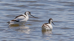Avocet (ste_roughley) Tags: wildlife nature rspb burtonmere avocet waterfowl