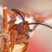 Cecropia Moth Head on