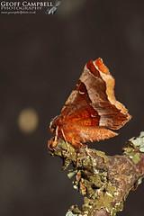 Purple Thorn (Selenia tetralunaria) (gcampbellphoto) Tags: purplethorn seleniatetralunaria moth insect macro nature wildlife scotland cairngorms aviemore gcampbellphoto