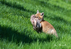 Fox Kit Carrying Rabbit - Grimes Hill Road Sabinsville PA (dfbphotos) Tags: 2019 may spring tioga sabinsville tiogacounty places grimeshill wildlife foxkit fox pa usa