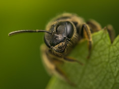 wild bee (Remosone) Tags: wildbee bee nature macro macrophotography leaf macrophoto nikon d5300 dof wildlife naturephoto green sigma 105mm28