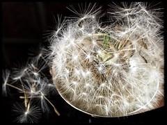 A spoonful of dandelion (tersha53) Tags: macromondays aspoonful