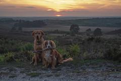 20190512_SRF_ForestWalk-38 (srfuk) Tags: appicoftheweek labrador spaniel newforest pets dogs sunset nikon d3400
