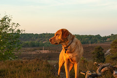 20190512_SRF_ForestWalk-12 (srfuk) Tags: appicoftheweek labrador newforest dog pets nikon d3400