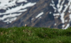 Pipit spioncelle (JeanJoachim) Tags: pipitspioncelle anthusspinoletta waterpipit passeriformes motacillidae oiseau bird vogel aves uccello fågel fugl pássaro バード lintu птица ptak pentaxk5iis smcpentaxda300mmf4edifsdm bergpieper