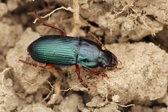 Harpalus (Radim Gabriš) Tags: coleoptera beetle carabidae harpalus harpalusrubripes groundbeetle macro insect