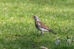 Fieldfare. (Frederik0711) Tags:
