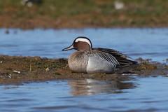 Garganey (cooky1959) Tags: garganey drake cleymarshes norfolk nwt ducks