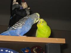 Coco & Burli (✿ Esfira ✿) Tags: wellensittiche budgerigars budgies parakeets coco burli
