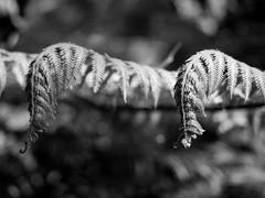 mull of galloway logan botanic garden-4131530 (E.........'s Diary) Tags: eddie ross olympus omd em5 mark ii spring 2019 logan botanic garden dumries galloway mull mono black white plants botanics