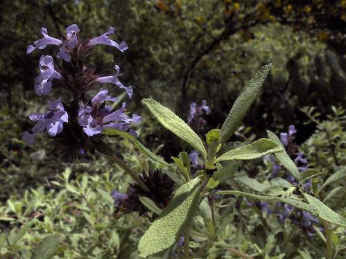 H20090509-0439--Salvia munzii --RPBG