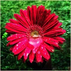 Beautiful Gebera Daisy on a Rainy Georgia Day || (steveartist) Tags: geberadaisy flowers redflowers smallflowers leaves waterdrops mariettaga iphonese snapseed photostevefrenkel macro bokeh