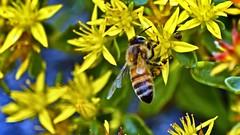 'B' (Bob's Digital Eye 2) Tags: bobsdigitaleye canon canonefs55250mmf456isstm depthoffield flower flowers garden organictexture plant bobsdigitaleye2 bee insects yellow flickr flicker
