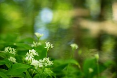 Wild garlic by the river (Future-Echoes) Tags: 4star 2019 bokeh depthoffield flowers green markshall nature shade water wildgarlic