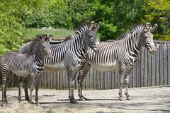 Gestreept (~~Nelly~~) Tags: mechelen planckendael zebra
