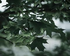 maple leaves (Frank Hellmiß2010) Tags: sony ilce7rm2 fe 24240mm f3563 oss ahornblätter grün green mapleleaves