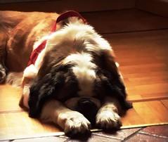 con le orecchie sopra le zampe (me, paolo and the seven wonders + two&little3) Tags: soraya cane dormire sanbernardo dog perro hund chien kutya picmonkey