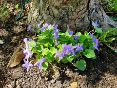 From nowhere (nikkorglass) Tags: samsung galaxy s9 home hemma mobilephone skogsviol blomma flower vild wild violariviniana commondogviolet