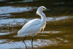 Snowy Egret (Daren Grilley) Tags: bird birds santa barbara wildlife saltwater marsh montecito lake