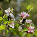 20190514 blommande äppelträd