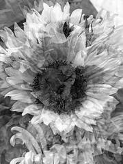 Finding the Beauty in the Sunflower (soniaadammurray - On & Off) Tags: manipulated experimental collage picmonkey photoshop abstract shadows reflections blackwhite nature look beauty appreciate flowers artchallenge spotlightyourbestgroup iphone