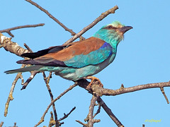 Carraca europea (Coracias garrulus) (18) (eb3alfmiguel) Tags: aves pájaros insectívoros coraciiformes coracidae carraca europea coracias garrulus