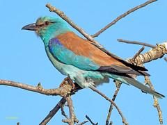 Carraca europea (Coracias garrulus) (1) (eb3alfmiguel) Tags: aves pájaros insectívoros coraciiformes coracidae carraca europea coracias garrulus