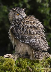 Puffball (maddiver58) Tags: eurasian eagle owl female workshop somerset avon owls