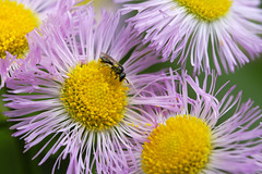 Little Bee On Little Fleabane (Modkuse) Tags: hoplitis fleabane flower flowers bee tinybee nature natural art artphotography photoart fineartphotography fineart macro macrophotography macrolens macroflower macroflowers macroinsects 80mm 80mmmacro xf80mmf28rlmoiswrmacro fujinonxf80mmf28rlmoiswrmacro fujifilm fujifilmxt2 xt2 fujinon colorful creature