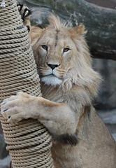african lion Dembe artis 094A0057 (j.a.kok) Tags: animal artis africa afrika afrikaanseleeuw africanlion leeuw lion mammal zoogdier dier predator dembe pantheraleoleo