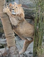 african lion Dembe artis 094A0045 (j.a.kok) Tags: animal artis africa afrika afrikaanseleeuw africanlion leeuw lion mammal zoogdier dier predator dembe pantheraleoleo