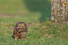 Project 2019 (eric-d at gmx.net) Tags: littleowl athenenoctua ngc steinkauz owl eule eric wildlife chick
