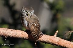 Pygmy owl - Civetta nana (silvano fabris) Tags: canonphotography wildlife uccelli natura rapacinotturni animals birds pygmyowl civettanana