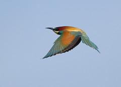A87A1509 Bee-eater (steve.ray50) Tags: 2019 spain trujillo