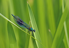 Banded Demoiselle - Michael Bird (Just call me Doc) Tags: bandeddemoiselles dragonflies damselflies odonata calopteryxsplendens michaelbird canon tamron g2 6d 150600mm riversoar kegworth ratcliffe leicestershire
